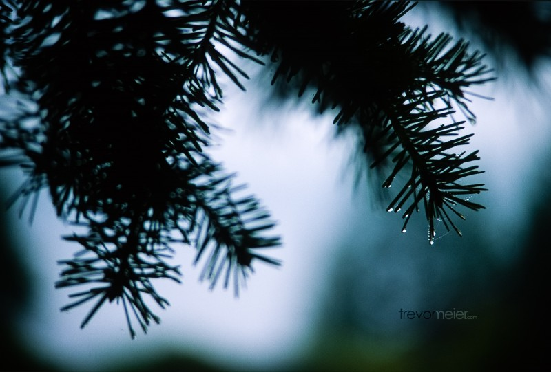 Dew on Pine Wallpaper